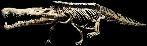 Phytosaur skeleton