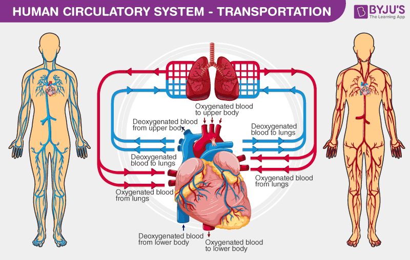 Health Update With A Local Nurse  Heart  U0026 Circulation