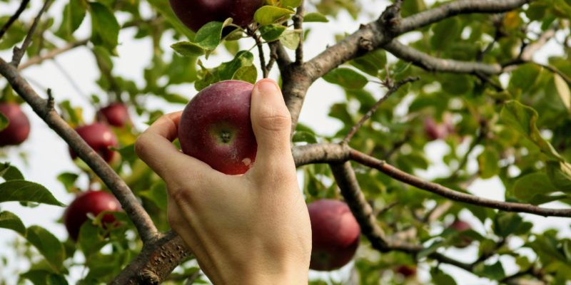 Picking fresh apples at the orchard.